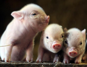 3-little-pigs-wanted-by-the-law-yarpnews